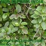 Gymnema Sylvestre Leaves Exporters
